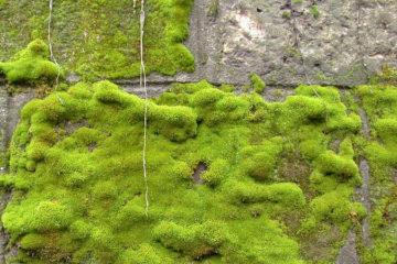 Moss control