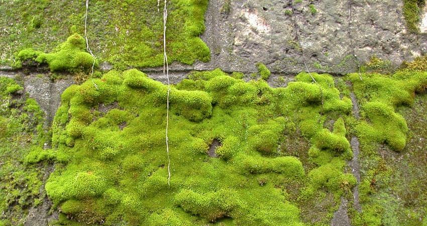 Garden Help - Moss Control