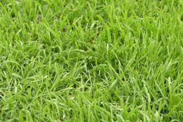 Lawn Repairs & re-turfing